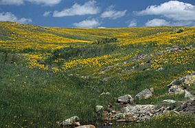 Coreopsis, Wichita Mountains Wildlife Refuge.jpg