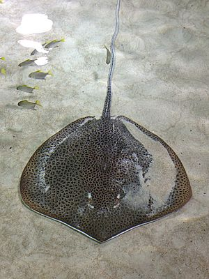 A stingray with its entire back covered by crowded dark spots, resting on a sandy bottom