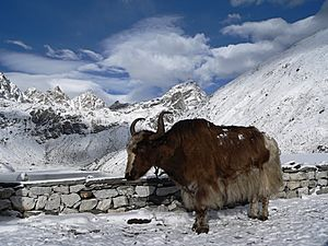 Yak at third lake in Gokyo
