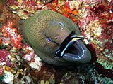 Giant Moray Eel getting cleaned