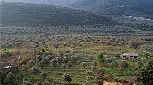 Olive groves in Syria