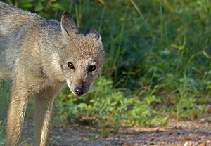 Side-striped Jackal (Canis adustus)- rare sighting of this nocturnal animal ... (13799252233).jpg