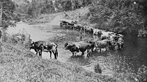 StateLibQld 2 392681 Bullock teams at Boefingers Crossing, Eumundi, 1917