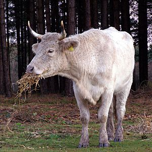 Cow eating straw new forest