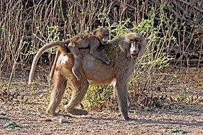 Hamadryas baboon (Papio hamadryas) mother and baby
