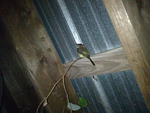 Acadian Flycatcher In Shed