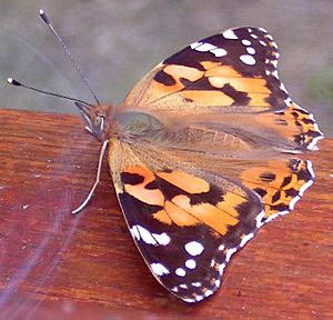 Painted Lady - Vanessa cardui - large