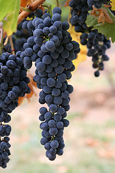Wine grapes03