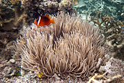 Dusky anemonefish Amphiprion melanopus and leathery sea anemone Heteractis crispa (7504784418)