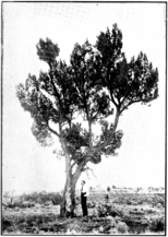 Goldfields Pine in Primer of Forestry Poole 1922