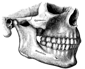 Maxilla Facts for Kids