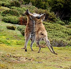 Wallaby-fighting-Tasmania