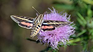 Hyles lineata - White-lined Sphinx Moth (9779272416)