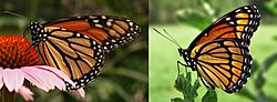 Monarch Viceroy Mimicry Comparison