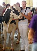 Showing Holstein cow-Minnesota