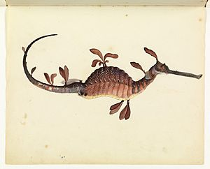 Sketchbook of fishes - 11. Leafy sea dragon - William Buelow Gould, c1832