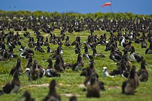 US Navy 100602-N-7498L-021 More than a million Laysan Albatrosses occupy the entire Midway atoll