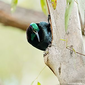 Paradise Riflebird pauses for a brief moment while searching for insects
