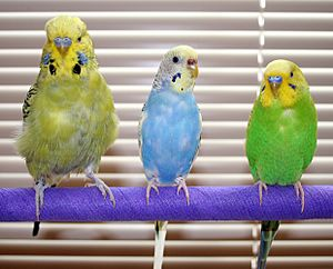 Melopsittacus undulatus - English Budgie and American Parakeets