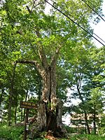 Ashford Oak, Ashford, CT - August 5, 2011