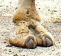 Camelsfootforexceedinglyimportantarticle