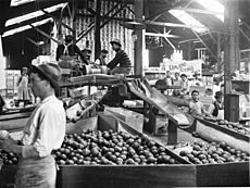 Interior of citrus packing house, Ontario, ca.1905 (CHS-1677)