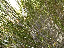 Melaleuca eleuterostachya (leaves, flowers, fruits)