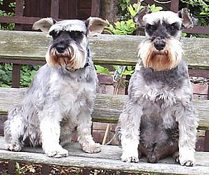 Two miniature schnauzers (female and male)