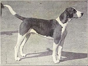 English Foxhound from 1915