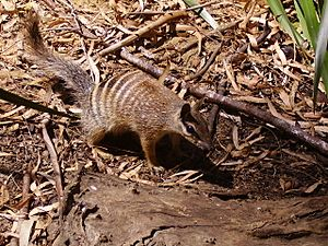 Numbat-Perth-zoo