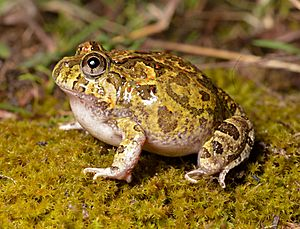 Ornate Burrowing Frog (Platyplectrum ornatus) (22681123617).jpg