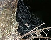 Portia.fimbriata.female.in.its.web.-.tanikawa