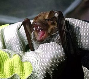 The image depicts a Seminole bat in the hands of a researcher
