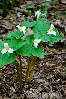 Trilliums at Dash Point State Park