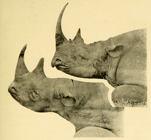 The Big Game of Africa (1910) - Black & White Rhinos