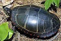 Full overhead shot of an eastern painted turtle