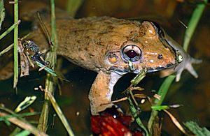 Crab-eating Frog (Fejervarya cancrivora) (14136245104)