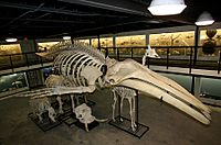 Humpback Whale Skeleton Museum of Osteology