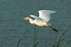 Cattle Egret (Bubulcus ibis) -in flight