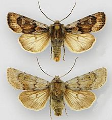 Euxoa muldersi male (top) female (bottom).JPG