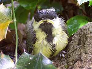 Great Tit fledgeling