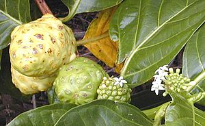 Noni fruit dev