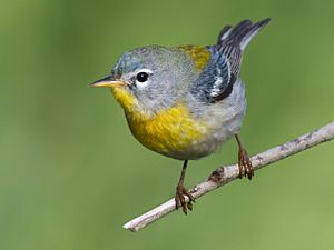 Northern Parula by Dan Pancamo