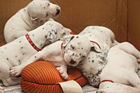 Dalmatian puppy, three weeks-3