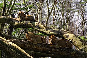 Lake-Nakuru-Lions-in-Tree