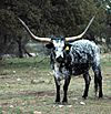 Texas Longhorn Steer Rocksprings