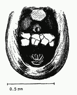Theridion.attritum.ventral
