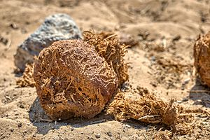 African Elephant Dung 2019-07-28