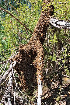 Bee swarm on fallen tree03