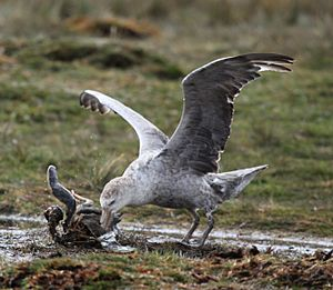 Northern Giant Petrel picking at a penguin carcass (5751643234)